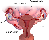 Model for Endometriosis