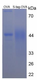 OVA Conjugated S15 Oligopeptide (S)