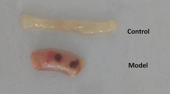 Mouse Model for Colitis