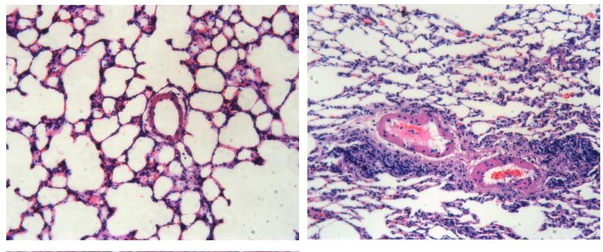 Rat Model for Diabetes Mellitus