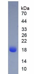 Native Beta-Lactoglobulin (bLg)