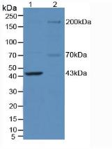 Polyclonal Antibody to Nitric Oxide Synthase 1, Neuronal (NOS1)