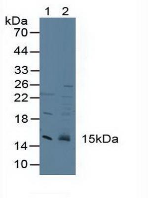 Polyclonal Antibody to Cystatin 3 (CST3)