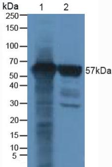 Polyclonal Antibody to Runt Related Transcription Factor 2 (RUNX2)