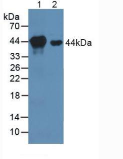 Polyclonal Antibody to Mitogen Activated Protein Kinase Kinase 1 (MAP2K1)