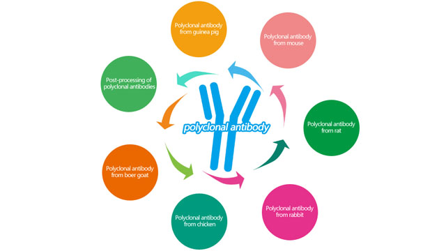 Polyclonal Antibody Customized Service