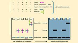 电泳迁移率变动分析(EMSA)实验服务